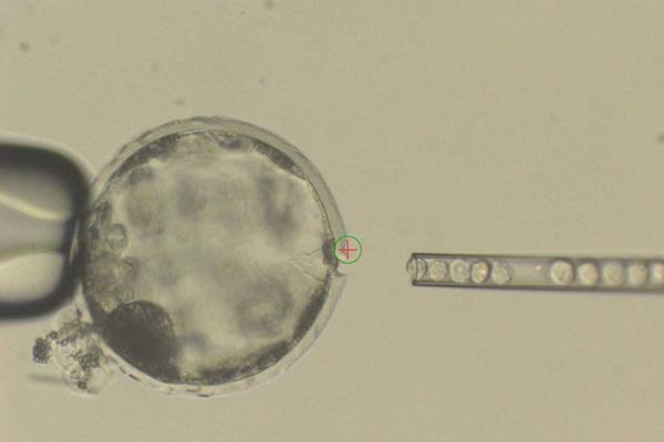 Hình ảnh một phôi nang lợn được tiêm tế bào người.