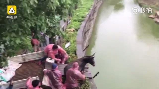 Nhóm người ra sức đẩy con lừa sống xuống chuồng hổ, dù du khách xung quanh lên tiếng can ngăn