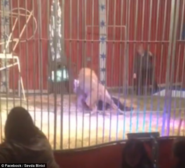 Màn biểu diễn đang diễn ra bình thường, đột nhiên sư tử nổi điên ngoạm cổ người huấn luyện thú