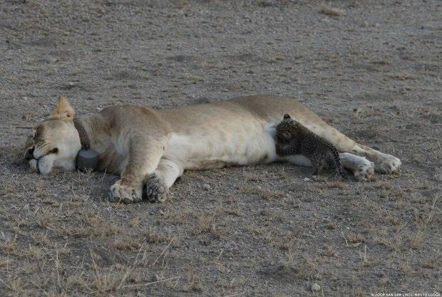 Có lẽ, con sư tử cái này đã bị mất các con của mình.