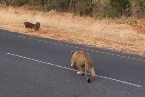 Sư tử cái âm thầm áp sát cặp đôi lợn rừng khiến một trong hai phải bỏ chạy thoát thân