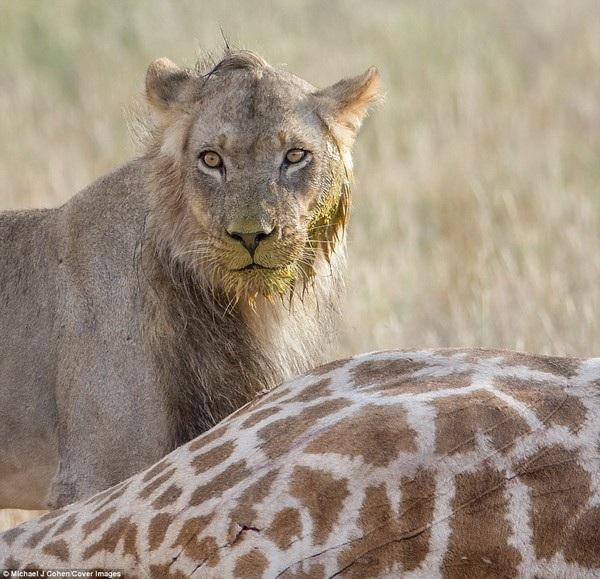 Trận chiến kết thúc khi hươu cao cổ bị hạ gục và sư tử có thể tận hưởng thành của mình.