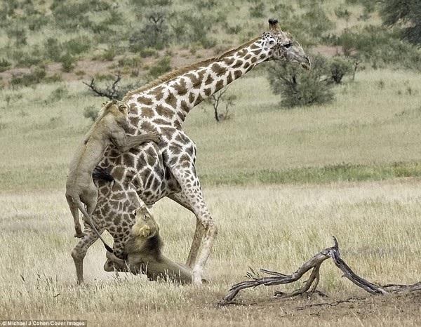 Hai con sư tử đực phải hợp sức để tấn công con mồi.
