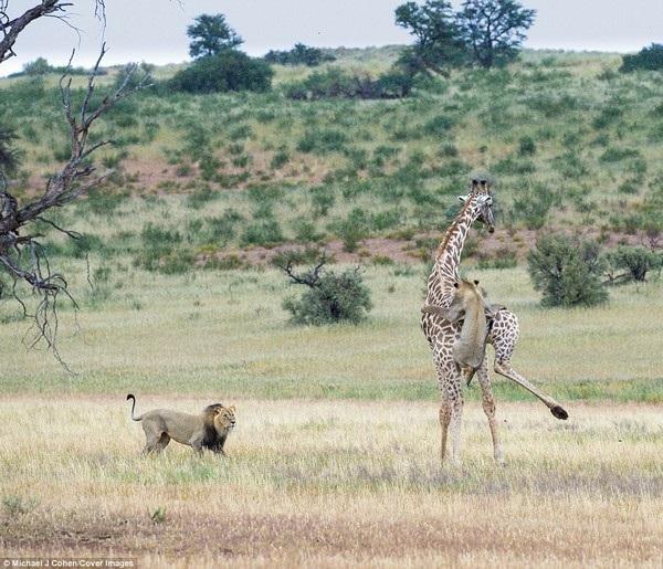 Hai sư tử đực hợp sức để hạ gục hươu cao cổ sau cuộc chiến ác liệt - 7