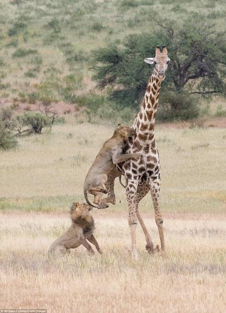 Sư tử phải liên tục nhảy lên cao để tấn công con mồi.