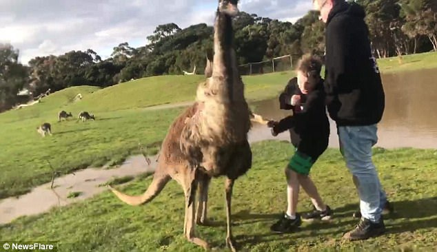 Bất ngờ kangaroo tung đòn khiến cậu bé loạng choạng