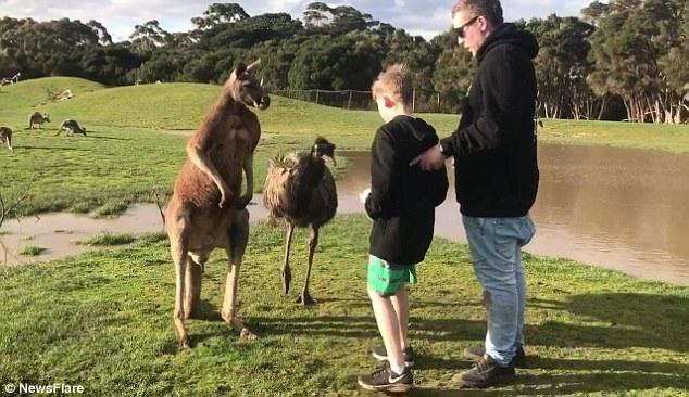 Được bố khích lệ, cậu bé mang thức ăn tiến lại gần đà điểu và kangaroo