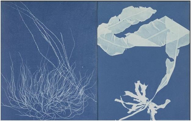 Vẻ đẹp tinh tế của tảo được chụp bởi nhà thực vật học Anna Atkins, người Anh và là người tiên phong về nhiếp ảnh ở thế kỷ 19. Trong hình là loài Gigartina confervoides (trái) và Alaria esculenta (bên phải)