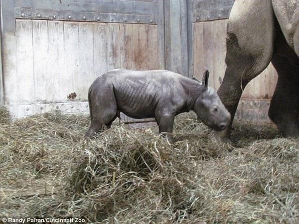 Chú tê giác đen Kendi đã có thể đi lại không lâu sau khi chào đời