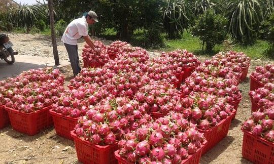 Được mùa rớt giá luôn là sự ám ảnh của người trồng trái cây Việt Nam (ảnh: Người lao động)