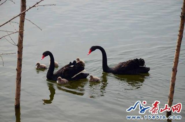 Trong văn hóa Trung Hoa, thiên nga là biểu tượng của tình yêu vĩnh cửu