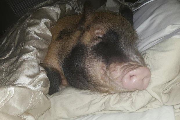 Bịt mũi trước cặp vợ chồng thích ngủ chung với... lợn - 3