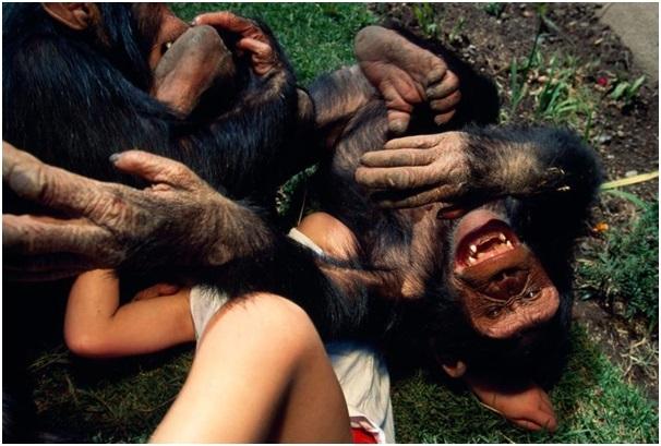 Loài linh trưởng đã trải qua 10-16 triệu năm để phát triển khả năng phát ra tiếng cười này.