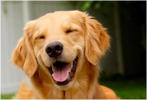 Chó cũng phát ra âm thanh được xem như tiếng cười của con người khi ở trạng thái vui.