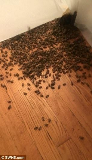 Một phần nhỏ trong tổng số 3,5 vạn con ong làm tổ trong nhà.