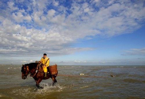 Nghề lạ ở Bỉ: Cưỡi ngựa bắt tôm - 2