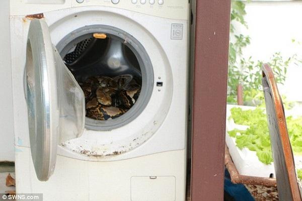 Con trăn nằm ẩn nấp phía bên trong máy giặt