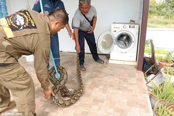 Các nhân viên cứu hộ khống chế và bắt giữ con trăn