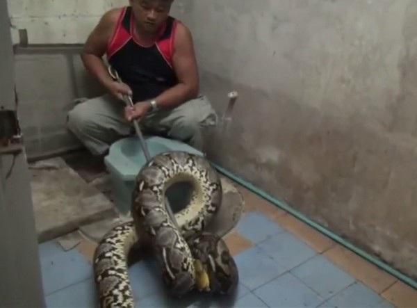 Con trăn cỡ khủng bị phát hiện và bắt giữ bên trong nhà vệ sinh của một người dân