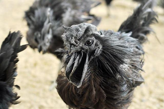 Hiện nay tại đảo Java, giống gà này bị lai tạp nhiều nên tìm được một con giống thuần chủng là cực kỳ khó khăn. (Ảnh: Hà Trang)