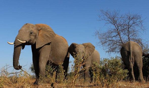 730.000 voi đã mất tích tại các khu bảo tồn ở Châu Phi do săn bắn tràn lan.