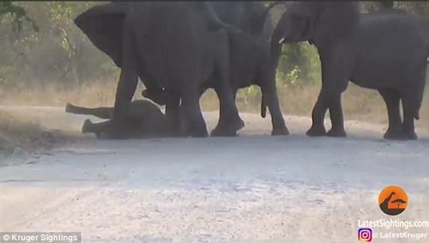 Một con voi trưởng thành giúp chú voi con đứng dậy.