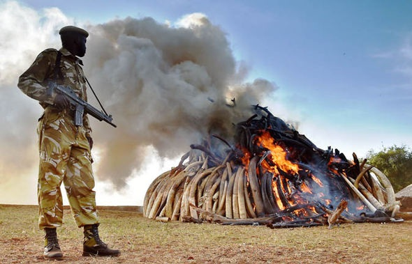 Ngà voi châu Phi bị đốt để cánh báo những kẻ săn voi lấy ngà.