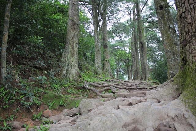 Con đường tùng, có rất nhiều cây xích tùng cổ có tuổi hàng trăm năm ở Khu di tích Yên Tử