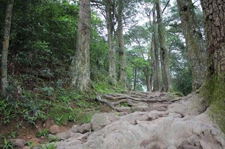Đường vào vùng có nhiều cây xích tùng cổ