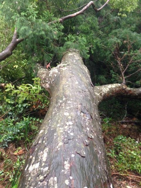 Một cây tùng lớn bị đổ trong gió bão trước đây