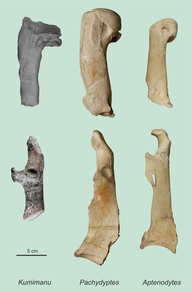 Hông và xương từ đai lưng của chim cánh cụt K. biceace.
