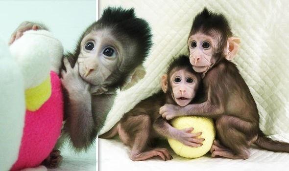 Các nhà khoa học Trung Quốc lần đầu tiên nhân bản thành công khỉ - 1