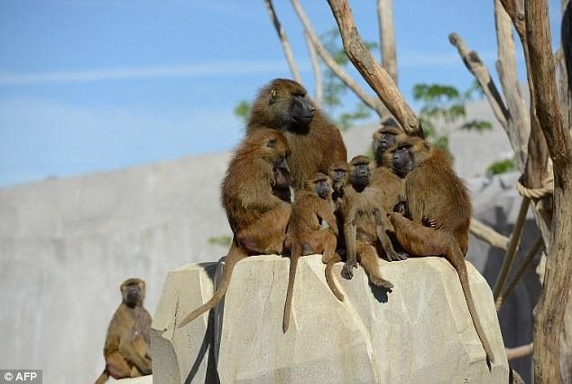 52 con khỉ đầu chó đã bất ngờ sổng khỏi chuồng của chúng ở vườn bách thú Paris vào trưa ngày 26/1 vừa qua, khiến nhân viên bảo vệ tại vườn thú phải nhanh chóng sơ tán các du khách để đảm bảo an toàn.