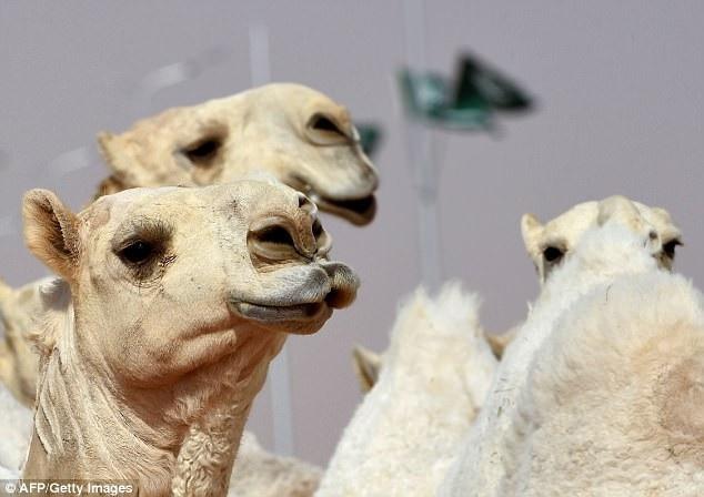 """12 chú lạc đà đã bị loại khỏi cuộc thi """"nhan sắc lạc đà"""" hiện đang tổ chức ở Ả Rập Saudi sau khi bị phát hiện có tiêm botox để gia tăng vẻ đẹp diện mạo."""