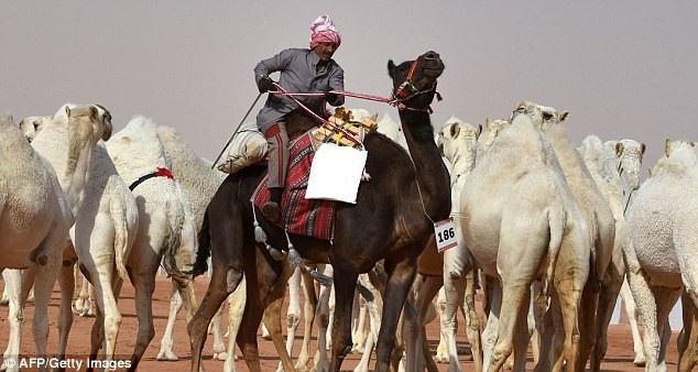"""Bên cạnh giải dành cho """"nam vương lạc đà"""", còn có các giải đua lạc đà, huấn luyện lạc đà, thi chăm sóc bộ lông lạc đà, thi chụp ảnh lạc đà…"""