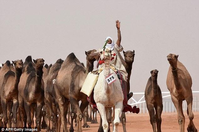 Lạc đà được xem là một vật nuôi thân thuộc trong đời sống của người dân Ả Rập Saudi và là một phần của đời sống văn hóa truyền thống.