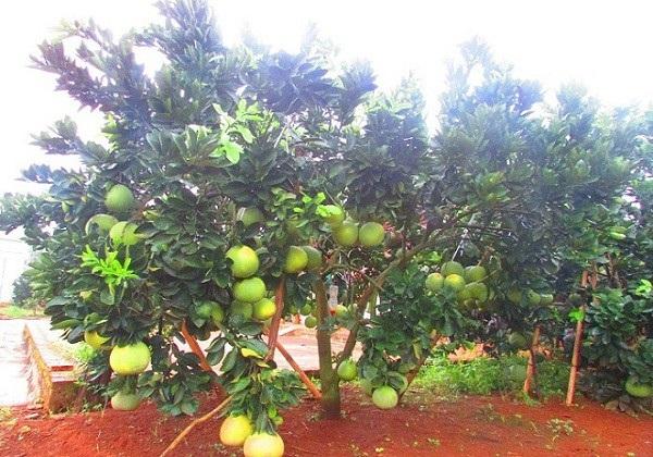 Nhờ cách chăm sóc khoa học và tỉ mỉ, vườn cây của gia đình ông Khởi phát triển tốt và sai trĩu quả
