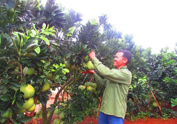 Ông  Khởi đang kiểm tra quá trình phát triển cây bưởi Diễn tại vườn