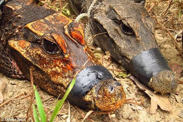 Cá sấu hang động màu cam và cá sấu lùn châu Phi.