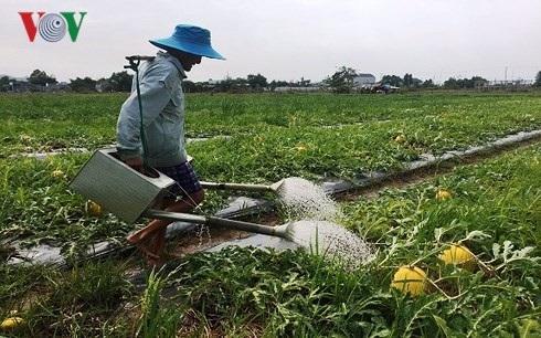 Ông Phạm Văn Quang đang tích cực chăm sóc dây dưa.