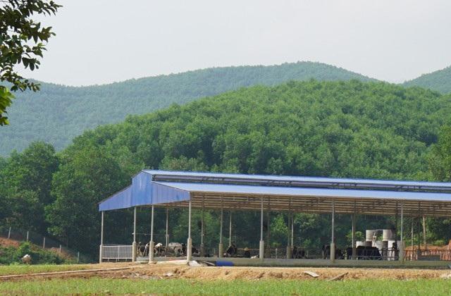 Trang trại chăn nuôi bò sữa nhập ngoại đang được hình thành trên đồi Triệu.