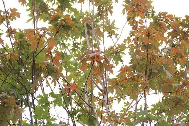 Tuy mới chỉ có một vài cây đổi màu lá nhưng đứng từ xa, người xem cũng có thể nhận ra màu sắc đặc trưng của lá phong đỏ.