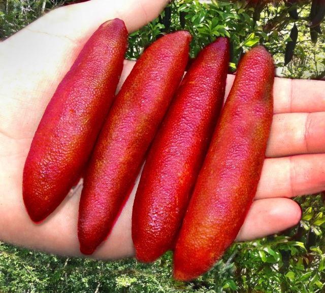 Chanh ngón tay có hương vị lạ giá 3,5 triệu đồng/kg - 2