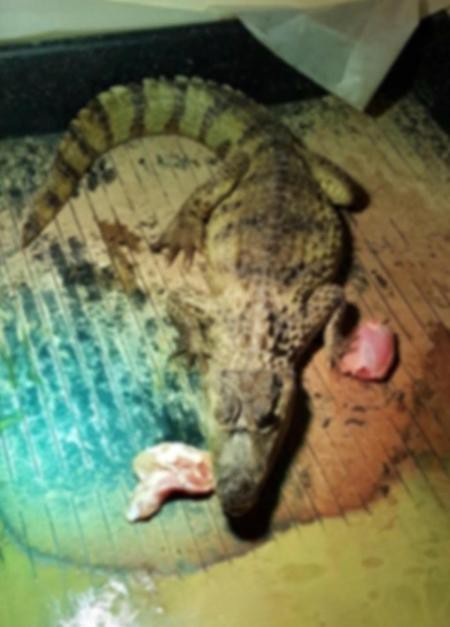 Người đàn ông nuôi cá sấu ngay trong phòng ngủ của mình