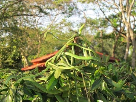 Những chùm rắn lục xanh quấn vào nhau trên những cành cây. Ảnh: Ngọc Thụ