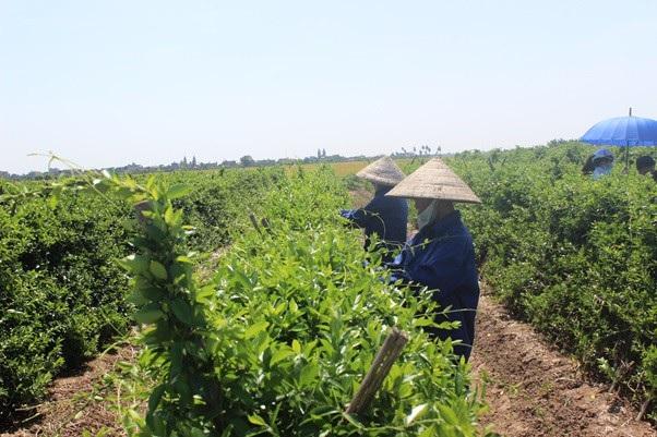 Vùng trồng Dây thìa canh chuẩn hóa GACP-WHO của công ty Nam Dược