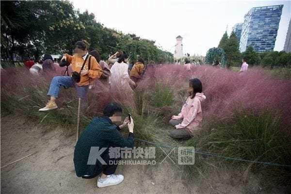 Du khách thi nhau dẫm đạp lên những vạt cỏ lau màu hồng để ghi hình