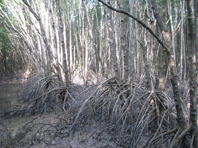 Những cây đước ở Cà Mau, nhiều mặt hàng lưu niệm được làm từ cây này.