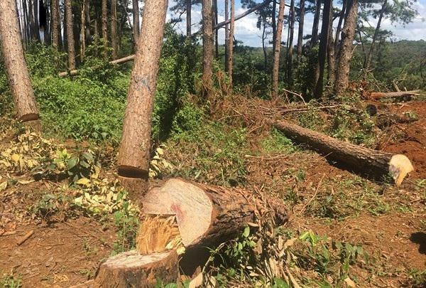 Những cây thông lớn, có tuổi đời vài chục năm bị đốn hạ