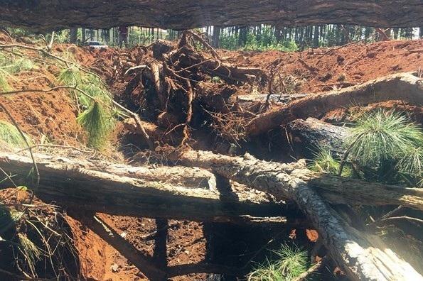 Ngổn ngang những gốc cây thông bị phá hoại, bức tử